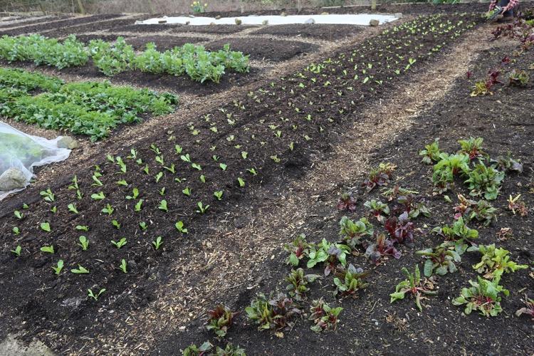 Lettuce bed after planting no dig