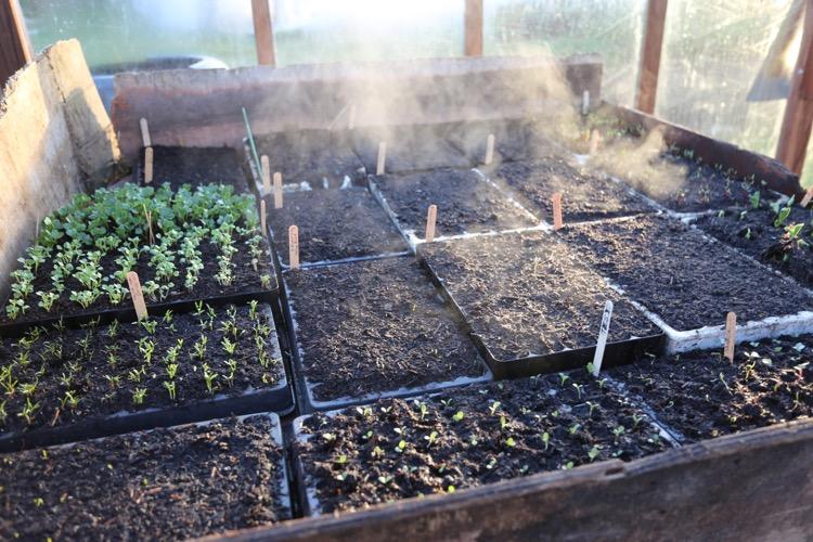Hotbed seedlings Charles D