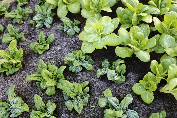 Winter salads or leaves outside no dig bed