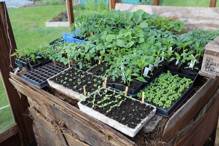 Hotbed seedlings late April