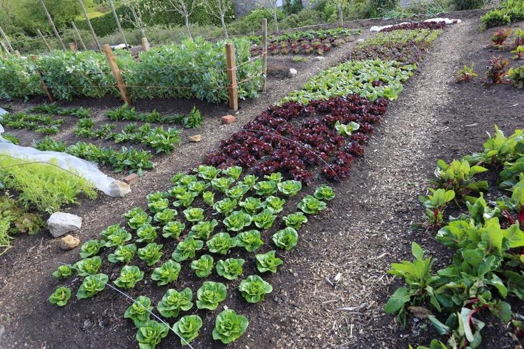 Spring lettuce, leaf harvests
