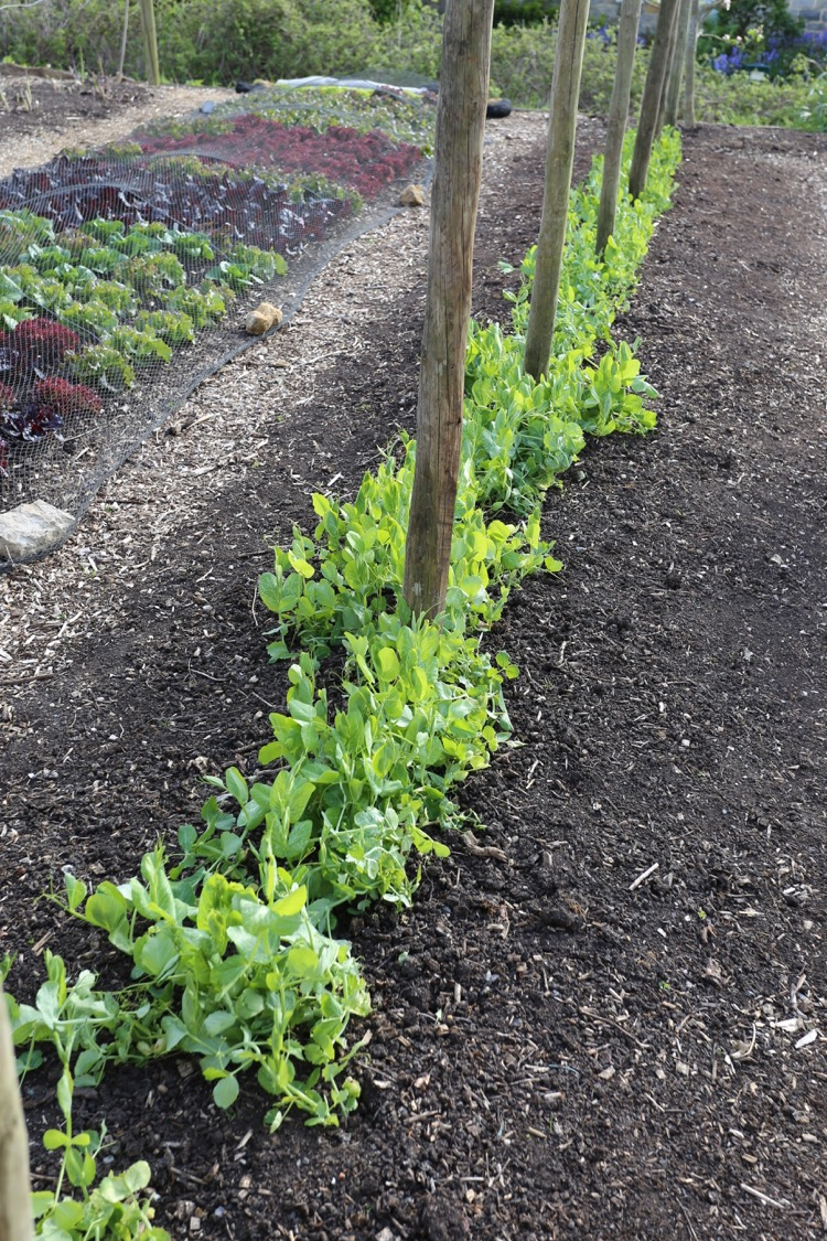 Supports for tall peas