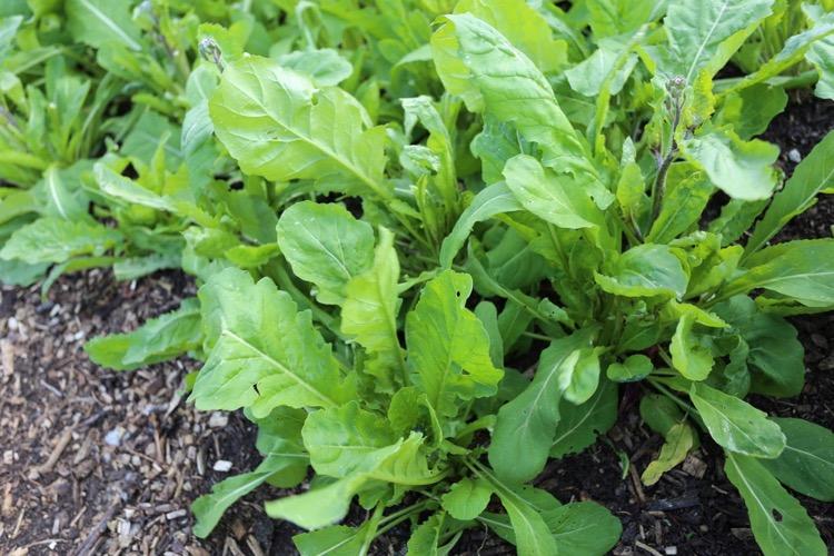 Salad rocket starting to flower