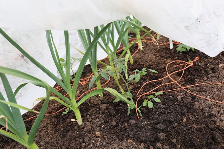 Tomatoes planted and fleeced over