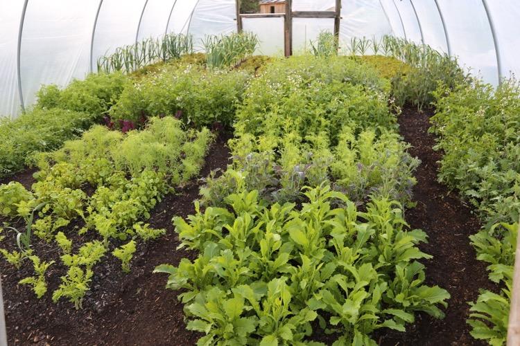 Still winter salads in the polytunnel