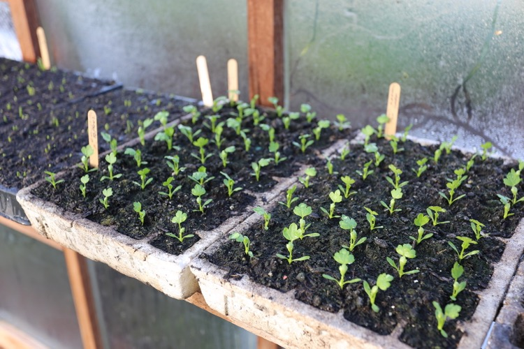 Celery and celeriac seedlings greenhouse