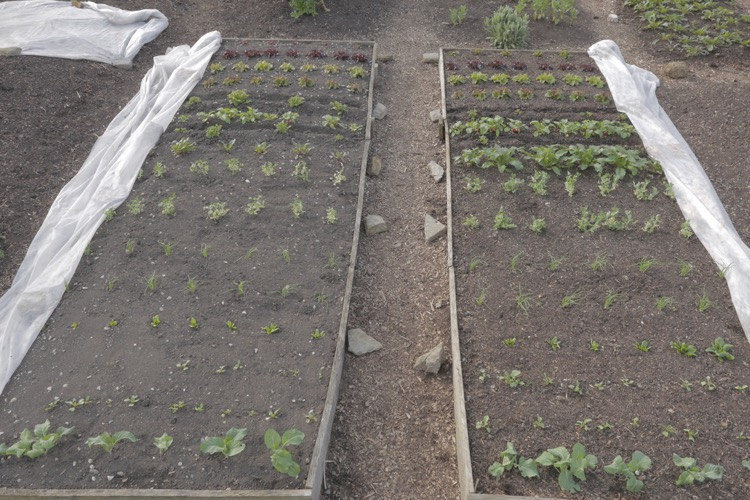Comparing growth 15th April, trial beds