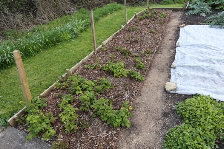 Wood chip mulch on raspberries