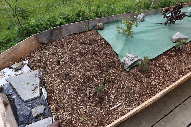After weeding, and a polythene mulch