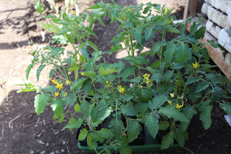 Trial of tomato plants in compost