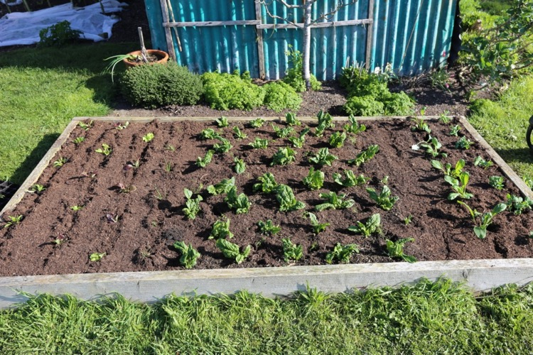 New plantings and fennel interplanted spinach