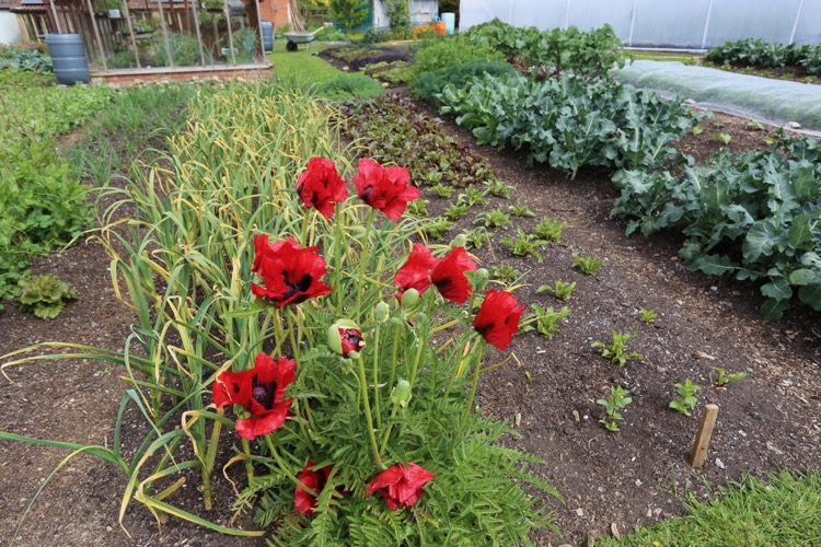 Poppies and veg