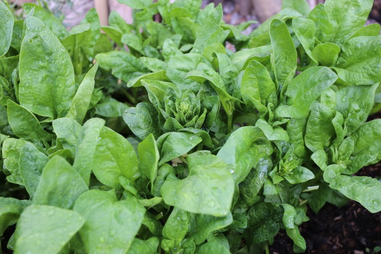 Nine month old spinach still cropping