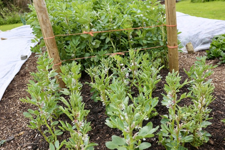 How aminopyralid affects broad beans