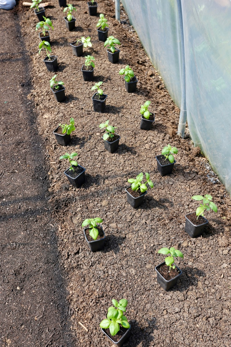 Sweet basil ready to plant in mulched ground