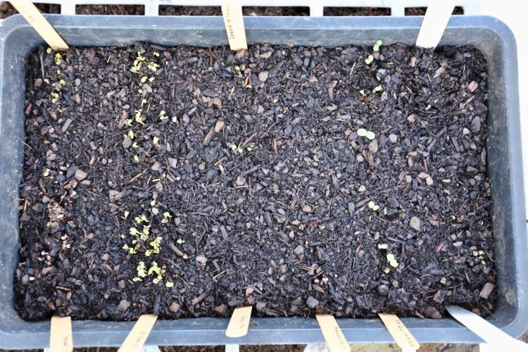 Sowings in seed tray to prick out