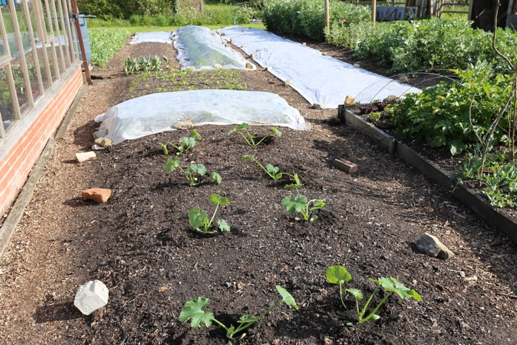 Courgettes just planted 13th May