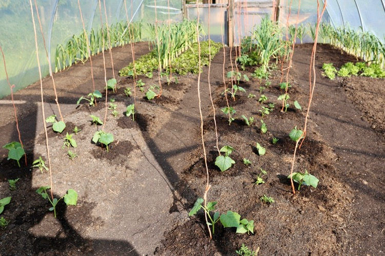 Now planted with cucumbers and dwarf beans