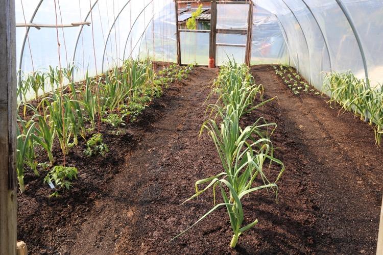 Polytunnel far end shows overwintered garlic