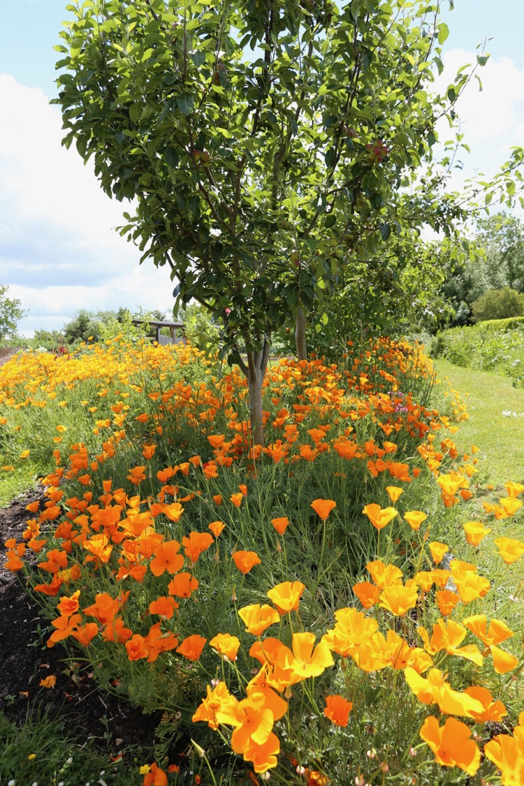 Californian poppies at Homeacres