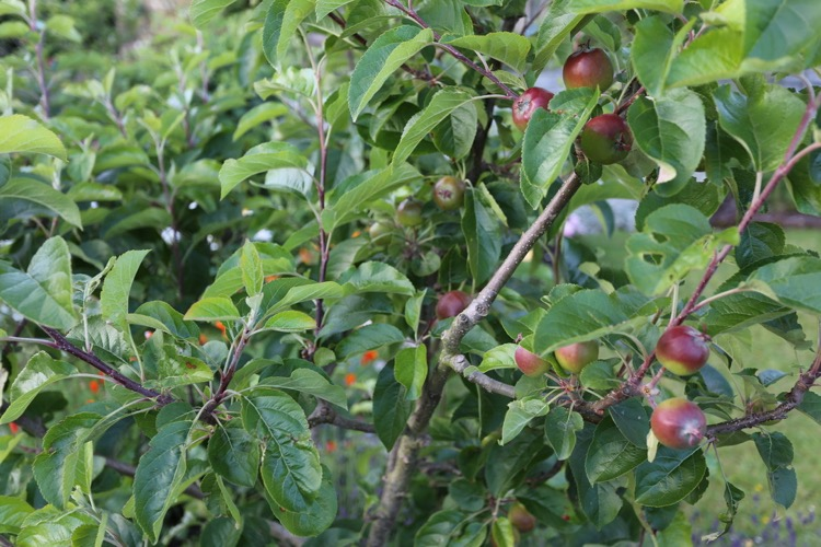 June apple tree, fruit thinned