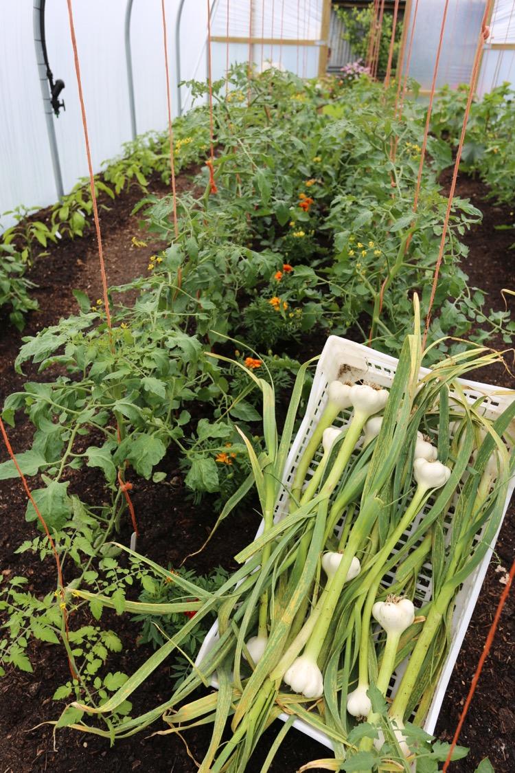Garlic harvest polytunnel