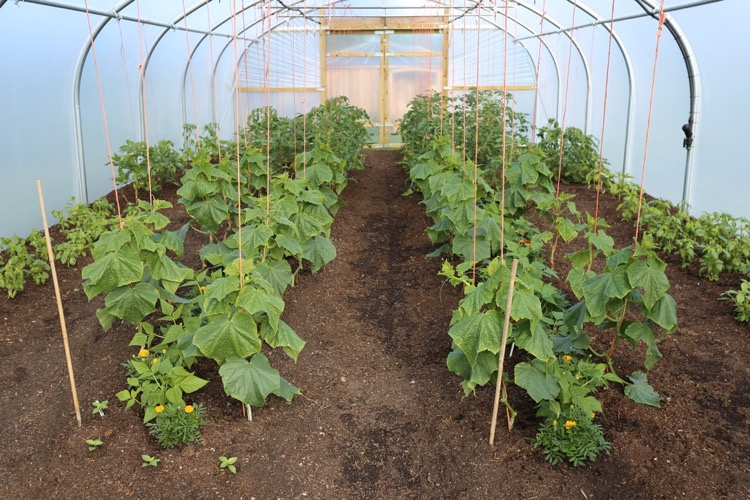 Polytunnel cucumbers 14th June