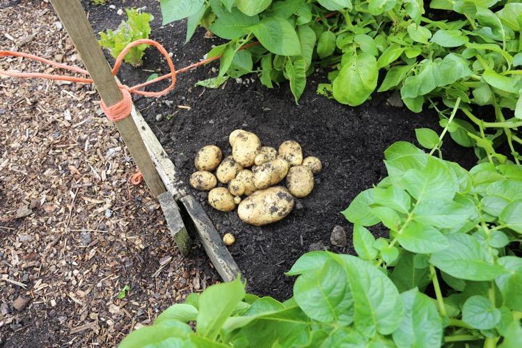 Potato harvest dig bed