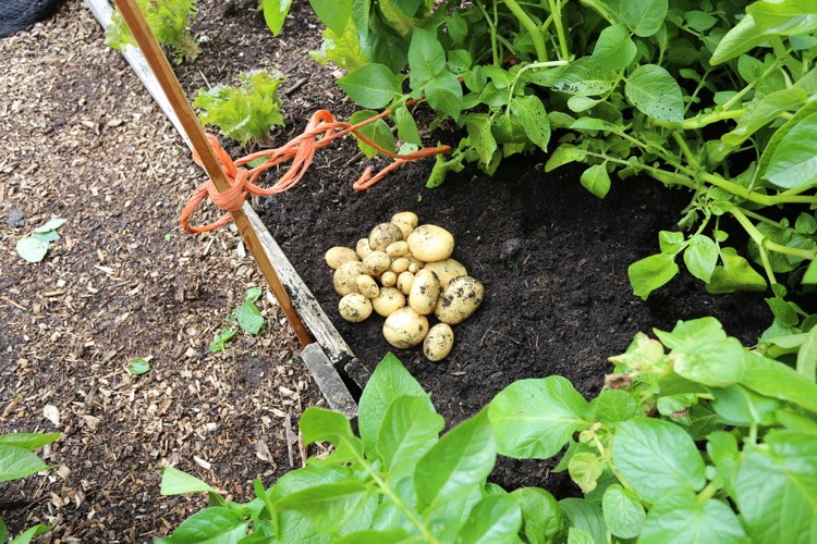 No dig potato harvest